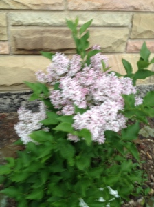 My lilacs have bloomed!!!